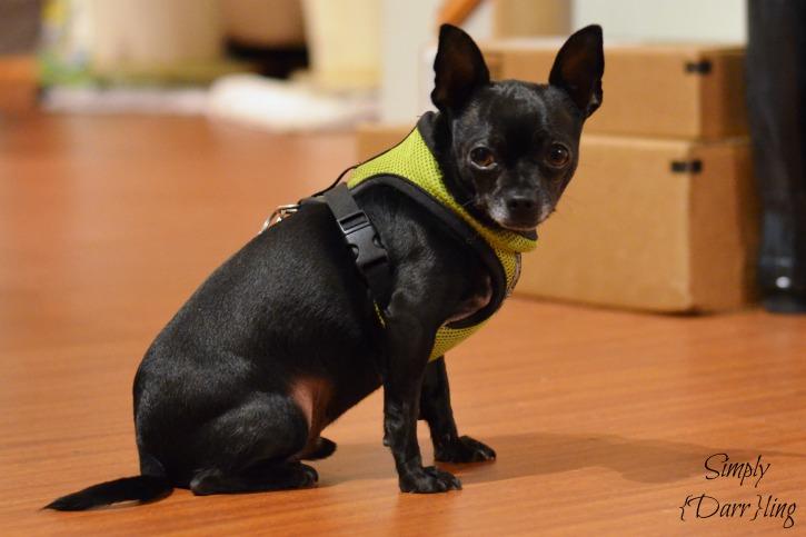 Pip Chihuahua