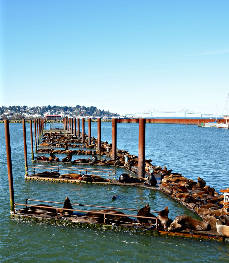Sea Lions in Astoria, Oregon