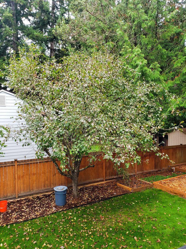 Apple Tree in Yard